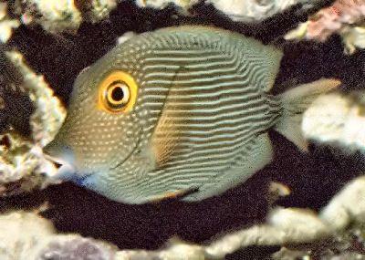 Yellow Eye Kole Tang Fish Pet Yellow Eyes Pets