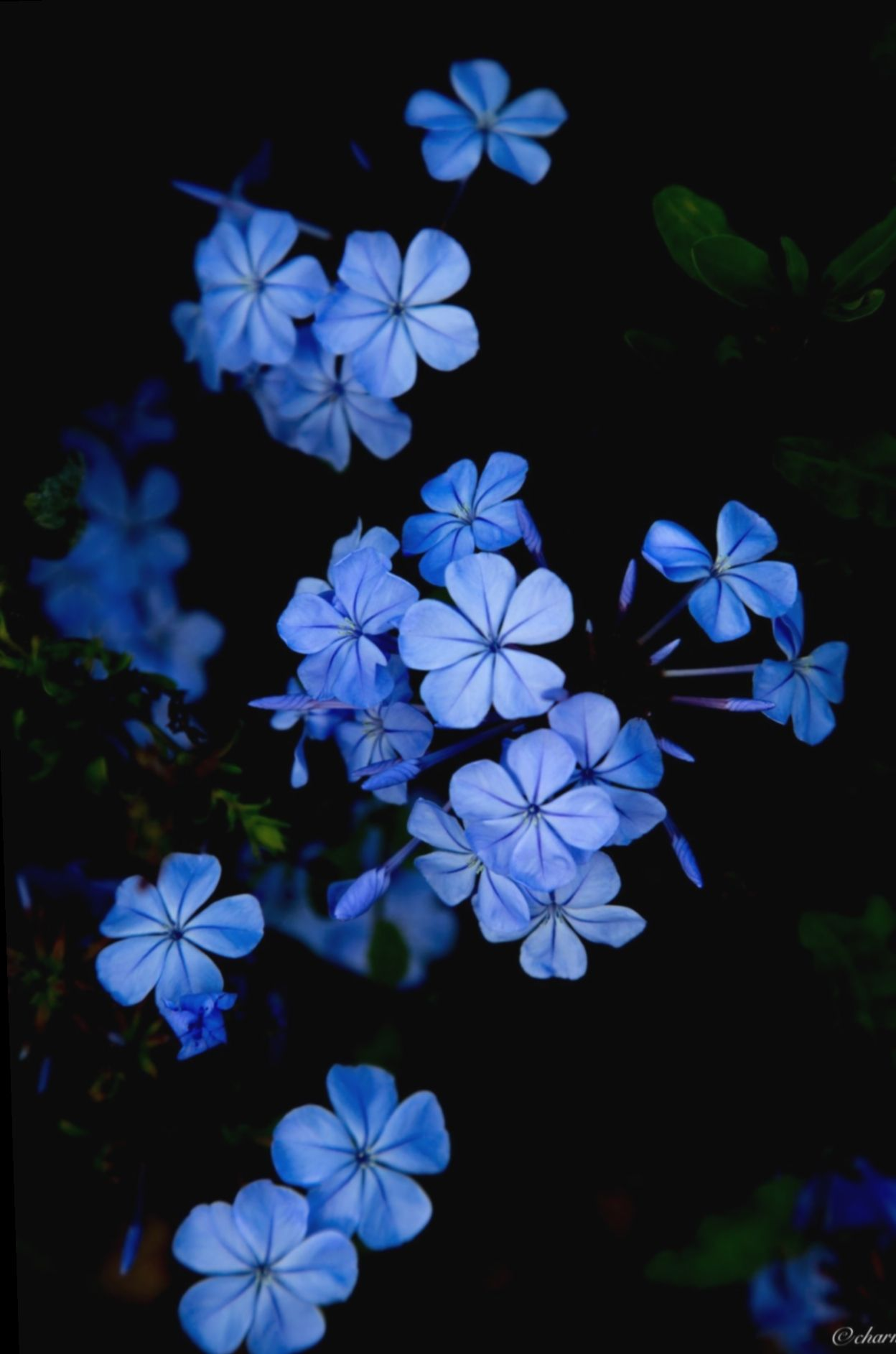 Wallpaper Blue Aesthetic Dark Lion Nature Photo Blue Flower Painting Blue Flower Wallpaper Dark Blue Flowers