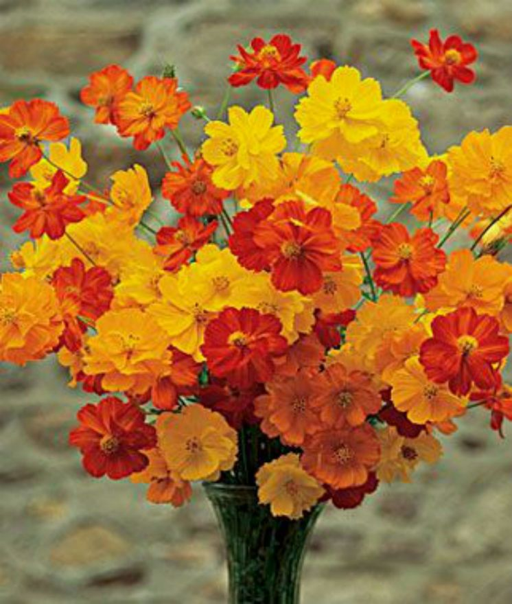 Beautiful 8 Ft Tall Bright Yellow And Orange Cosmos 25 Seeds Comb S H Cosmos Flowers Annual Flowers Planting Flowers