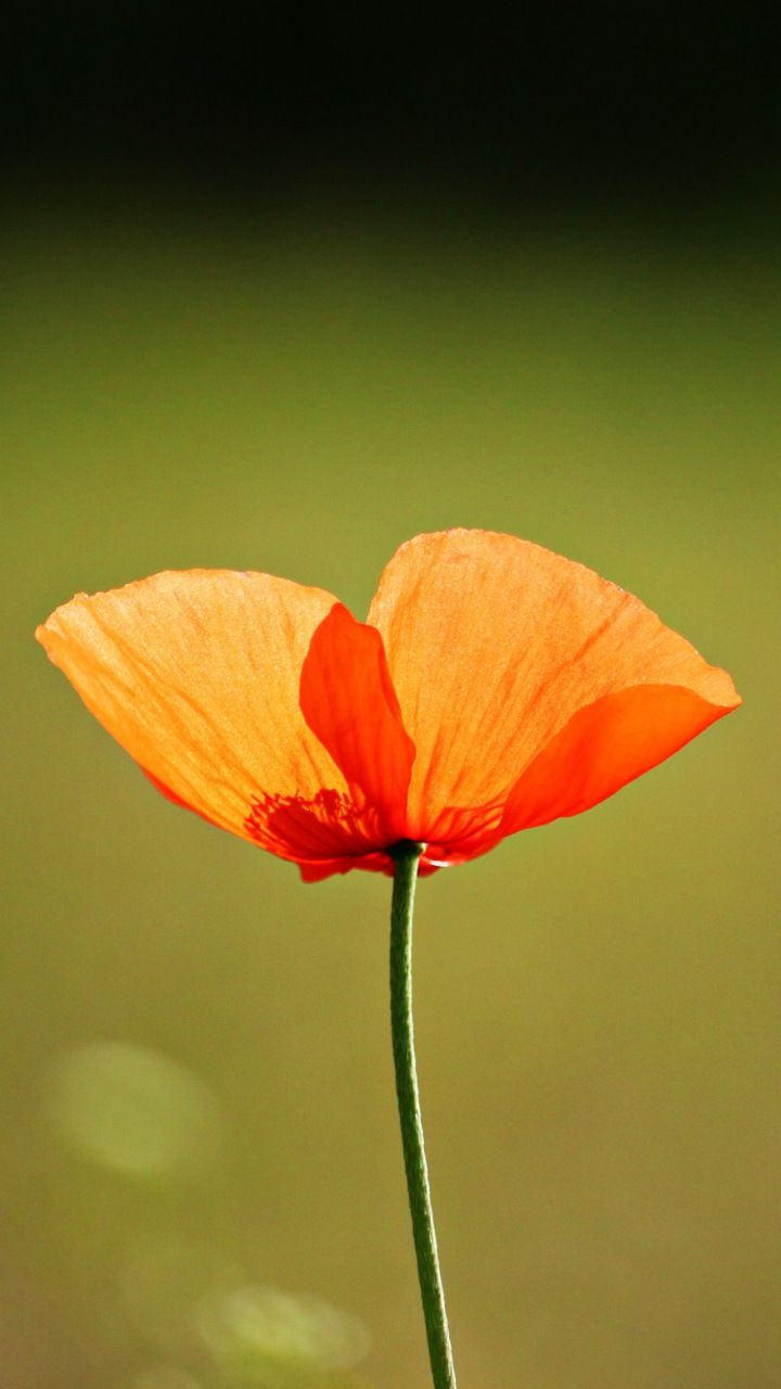 Single Flower Orange Poppy 720x1280 Wallpaper Flowers Wallpapers