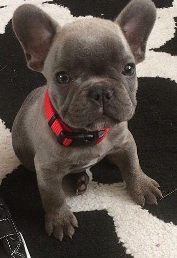 Pin Von Lxxtva Auf Tumblr Franzosische Bulldoggenbabys Hundebabys Franzosische Bulldogge Ausgewachsen
