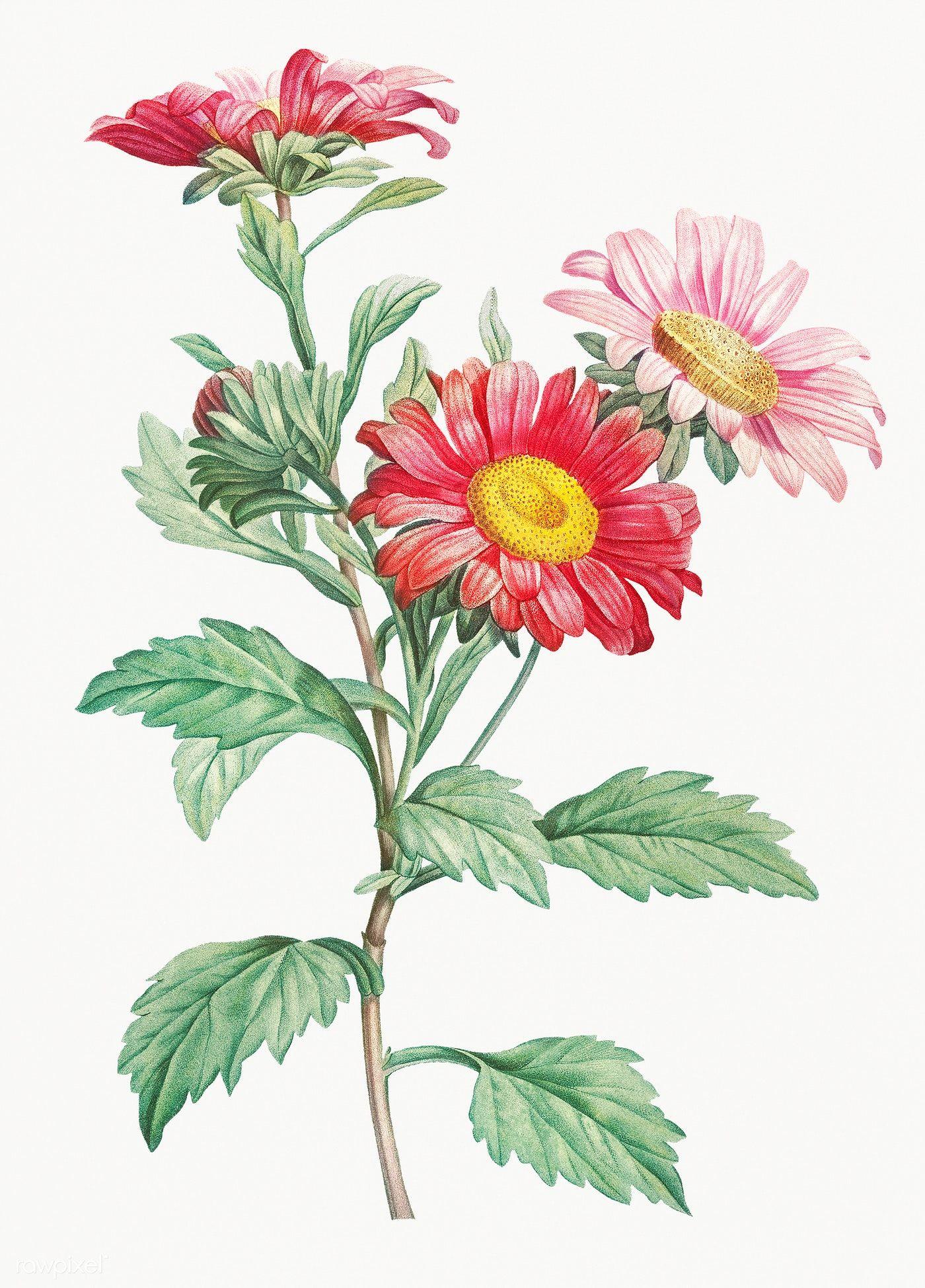 Download Premium Illustration Of Vintage Aster Flowering Plant Aster Flower Flower Drawing Botanical Flowers