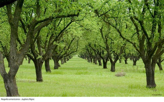 Nogales americanos juglans nigra rboles arbol de - Nogal americano muebles ...