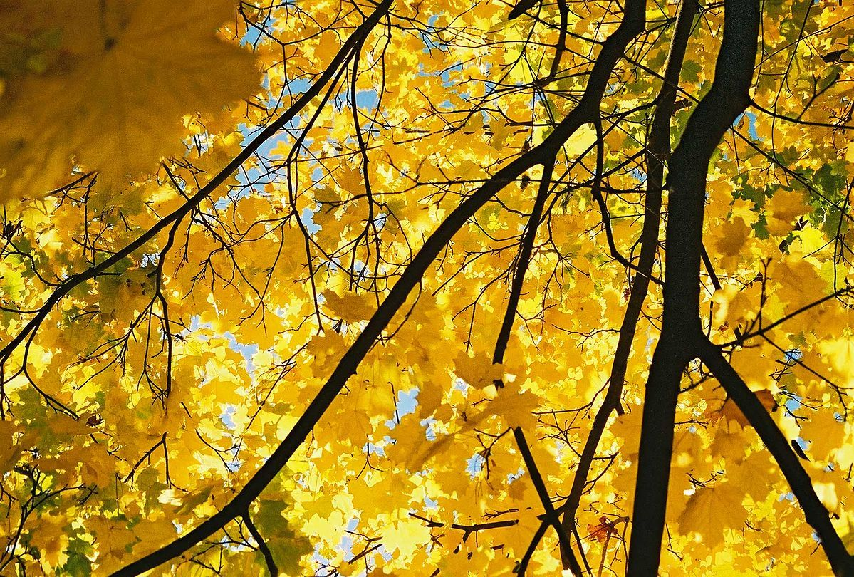 File:Yellow-maple.jpg