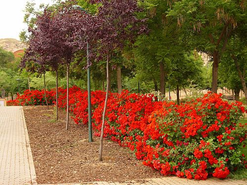 Arbusto Rosa Wikipedia La Enciclopedia Libre Arbustos Arbustos De Hoja Perenne Rosales