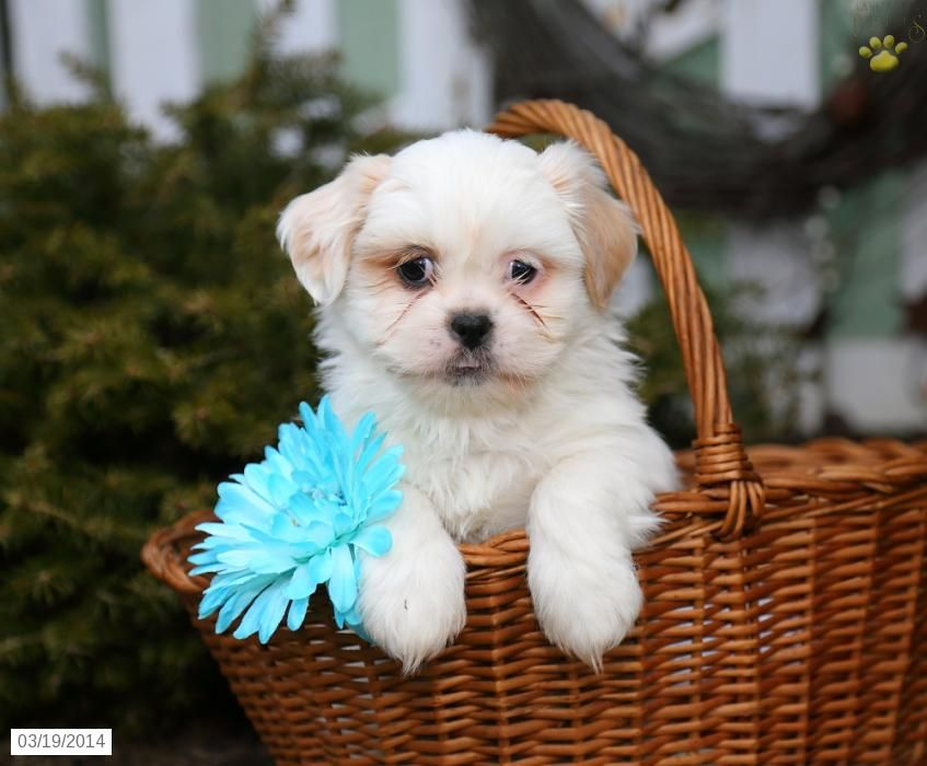 Puppies For Sale Shih Tzu Puppy For Sale In Ephrata Pa