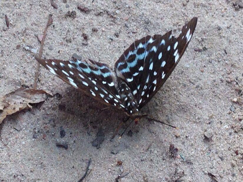 Papillon du Cambodge