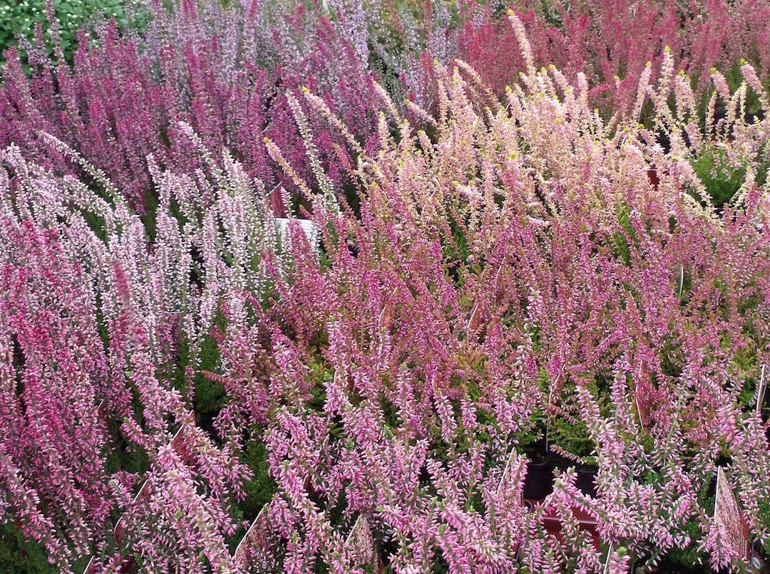 Winter And Spring Flowering Heather Our Plant Of The Month Winter