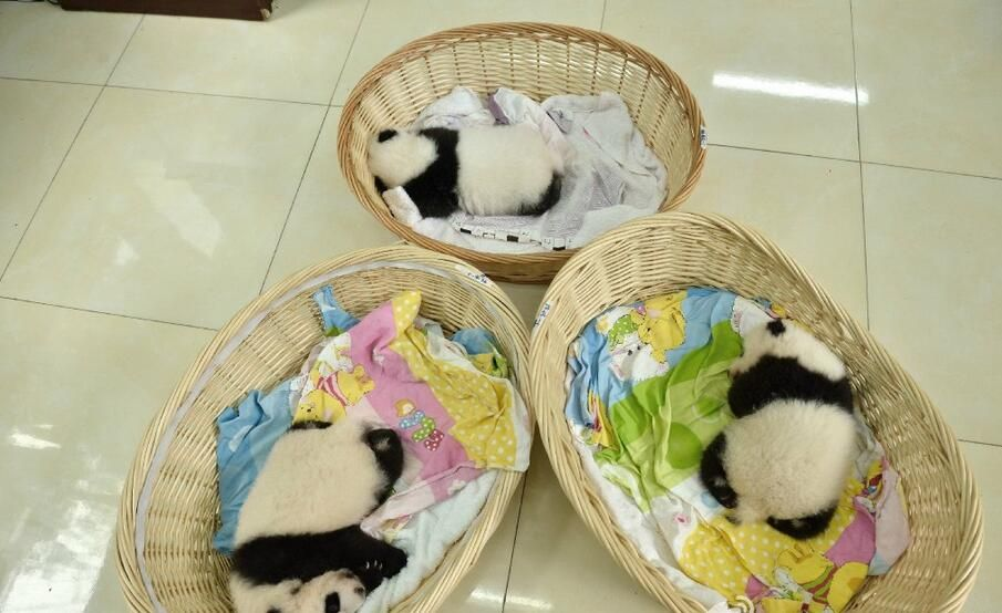 A panda cub usually begins opening its eyes about 40 days after birth. They have their eyes wide open after about 50 days. It begins to have the sense of sight after 70-90 days.
