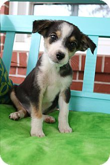 Hagerstown Md Beagle Pomeranian Mix Meet Callen A Puppy For
