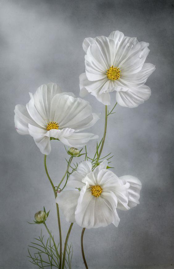 White cosmos virg pinterest cosmos flowers and flower white cosmos mightylinksfo