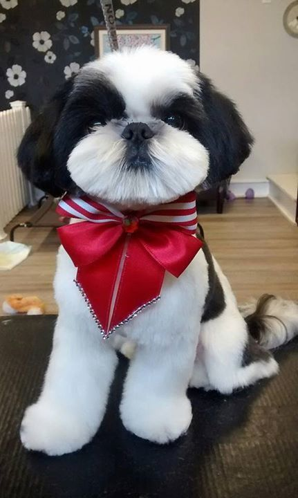 Looks Like My Old Harley Shih Tzu Puppy Dog Grooming Styles