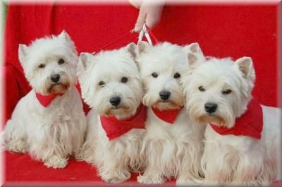 When You Have A Clan Like These Dogs There Is Nothing Better Than A Lot Of Trouble And The Love For Them Hund Und Katze West Highland White Terrier Tierbilder