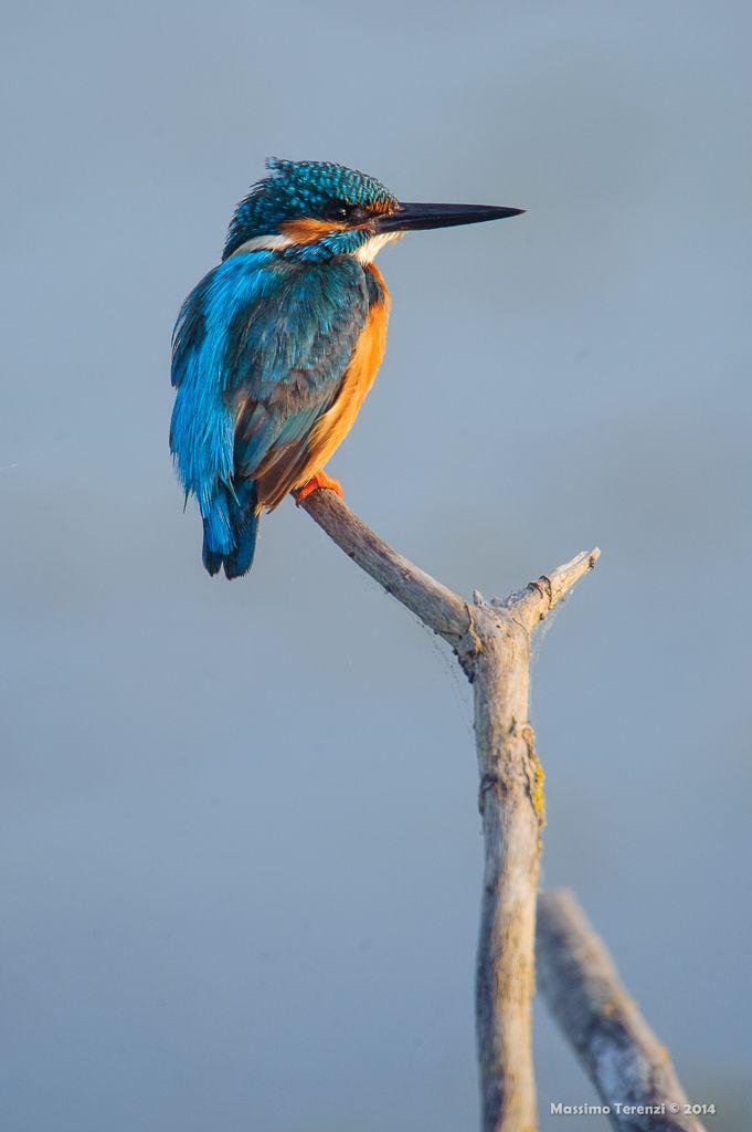 Martin pescatore (Kingfisher): Photo by Photographer Massimo Terenzi