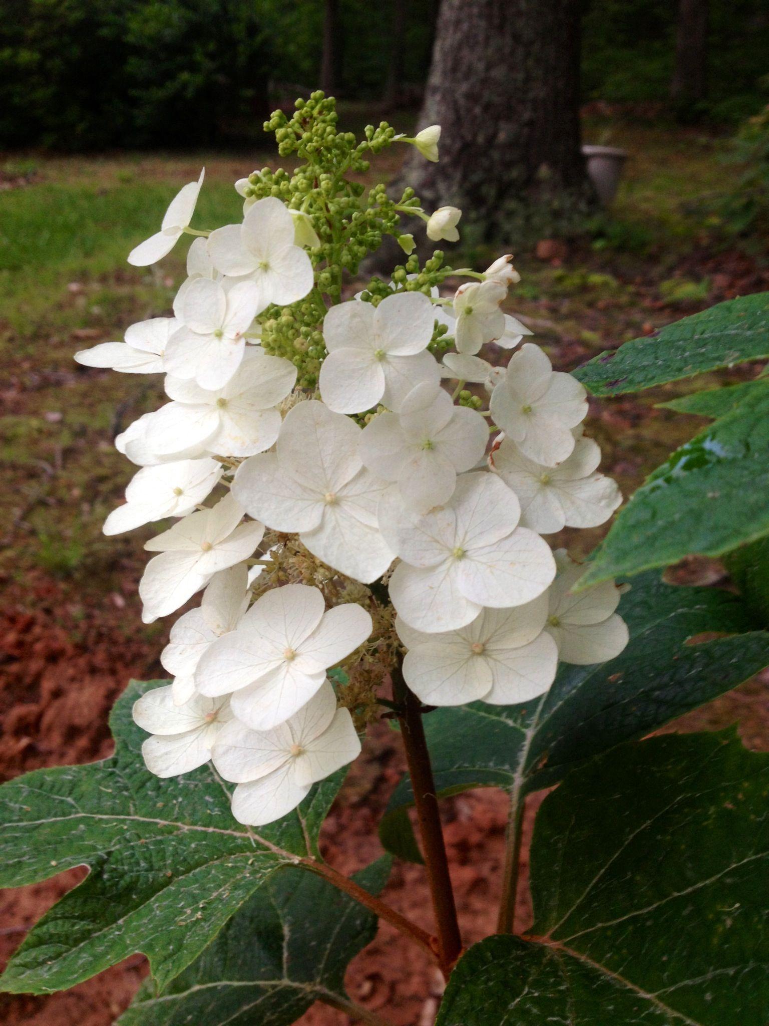Oak Leaf Hydrangea first blooms