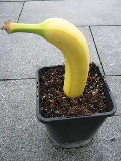 Wie man aus einer Banane eine neue Pflanze zieht #gartenideen