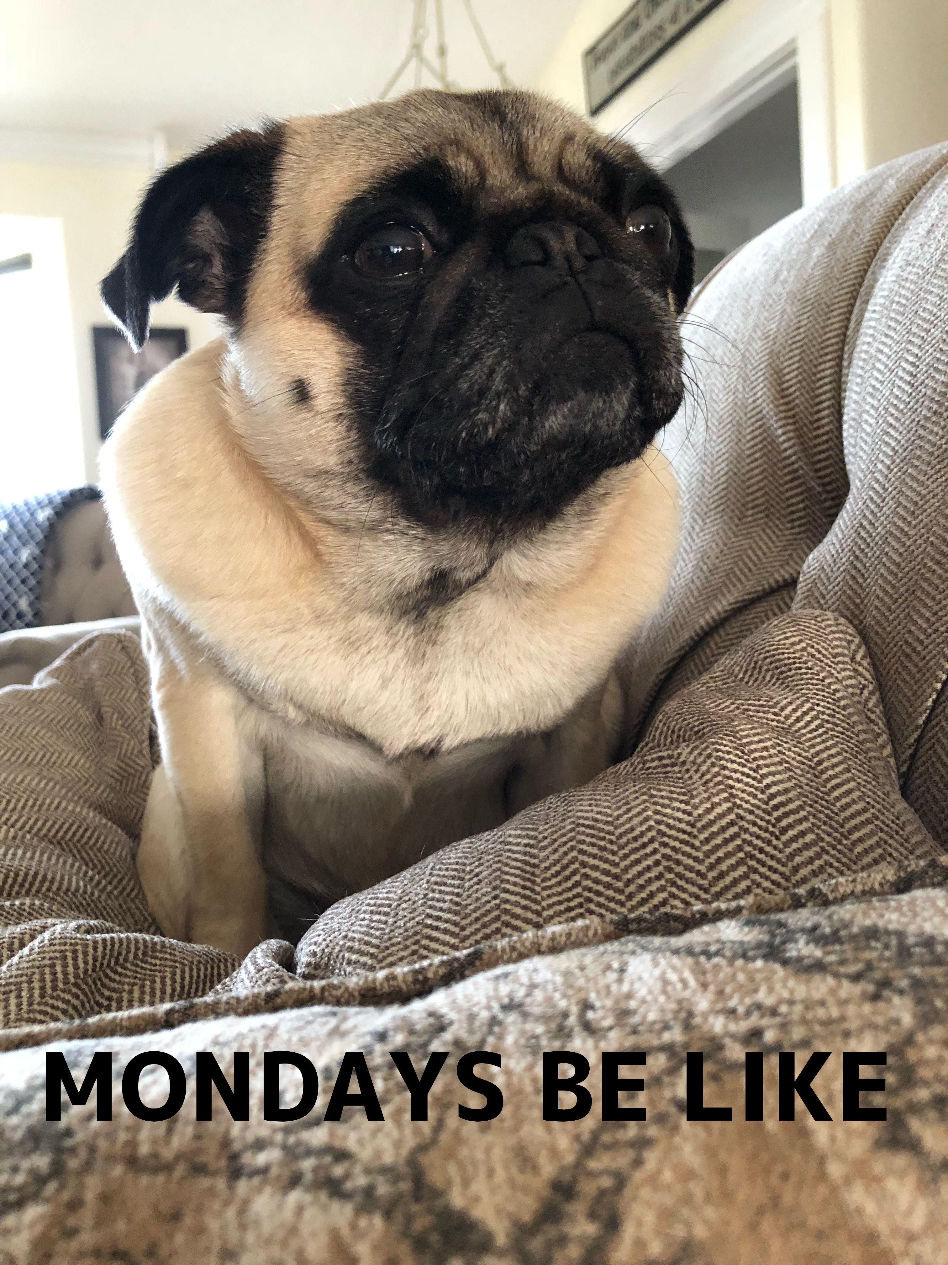 Pug Meme Monday Pugs Dogs Puppies