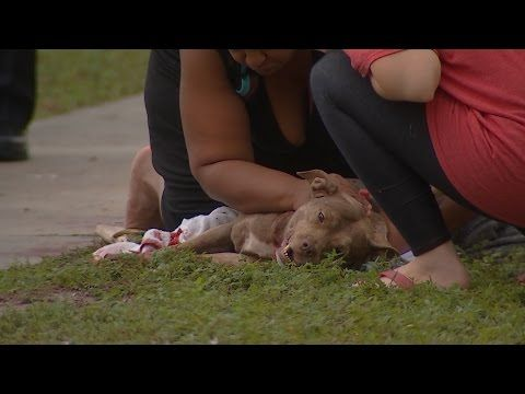 Pit Bull Gave Its Life To Save The Owner | Pitbull Saves A Baby - YouTube