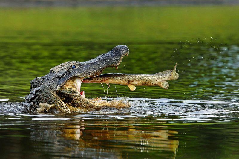 Fast-food. Cette scène s'est déroulée en Floride. La photographe a eu beaucoup de chance, et le poisson très peu: trop d'alligators, pas assez d'eau. La sécheresse le condamnait à terminer presque à coup sûr dans la gueule de l'un des 70 sauriens qui surpeuplaient ce jour-là la rivière Myakka. Ensuite, en raison de la qualité du festin, avalé en outre de façon fort gloutonne: ce poisson a beau ressembler à à un esturgeon, ses oeufs sont en réalité toxiques. Du Figaro.fr Crédits photo : SCARR