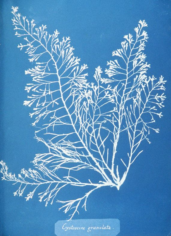 Cytoseira granulata Copy of cyanotype print by early British - copy what is blueprint paper called