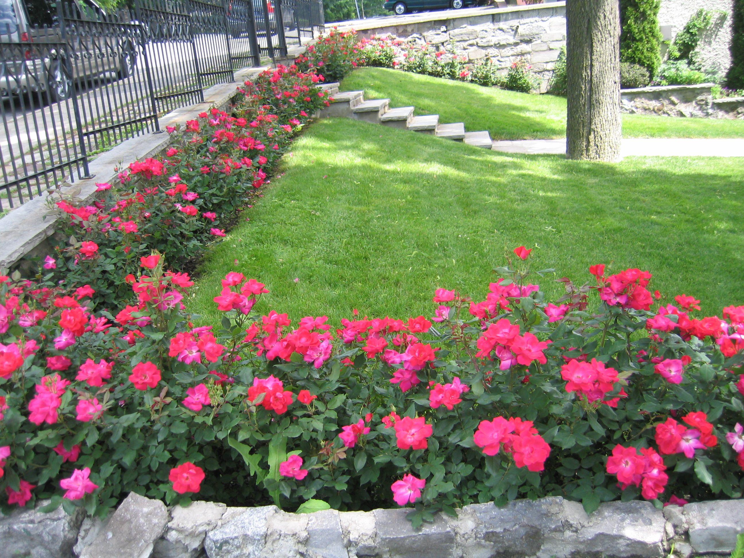 Knock Out Rose Golzkim Pinterest Garden Landscaping Garden