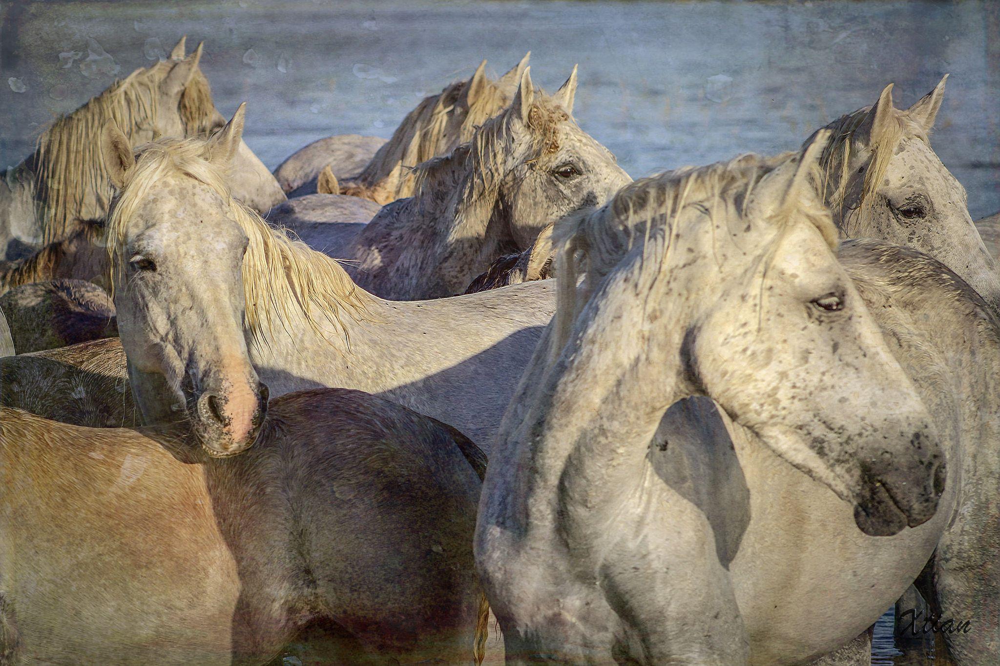 Chevaux De Camargue 3 Regroupement Apres La Traversee De L Etang Gines Chrono 881 Animals Lion Sculpture Horse Coloring