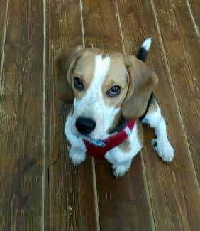 Beaglehundin In Liebevolle Hande Abzugeben In Bayern Hof Beagle Und Beaglewelpen Kaufen Ebay Kleinanzeigen Beagle Tiere Und Heimtierbedarf Heimtierbedarf