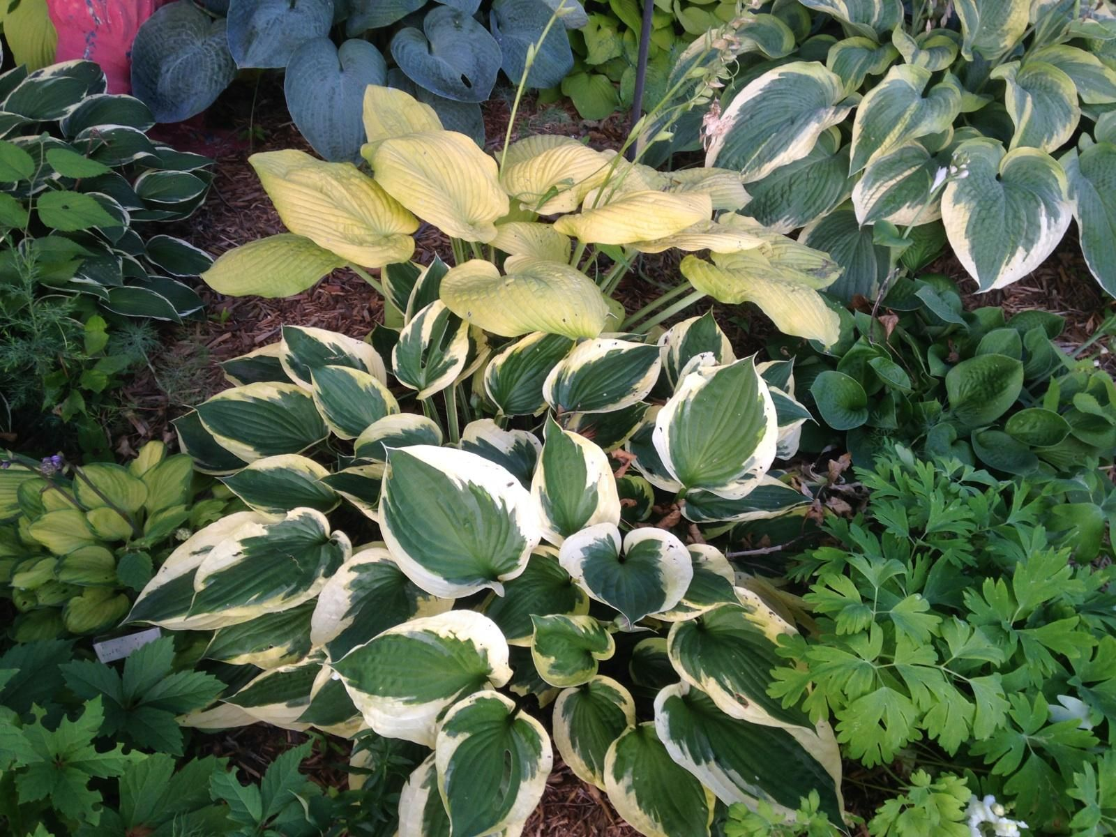 Front And Center Hosta Twilight Surrounded By Its Friends Things