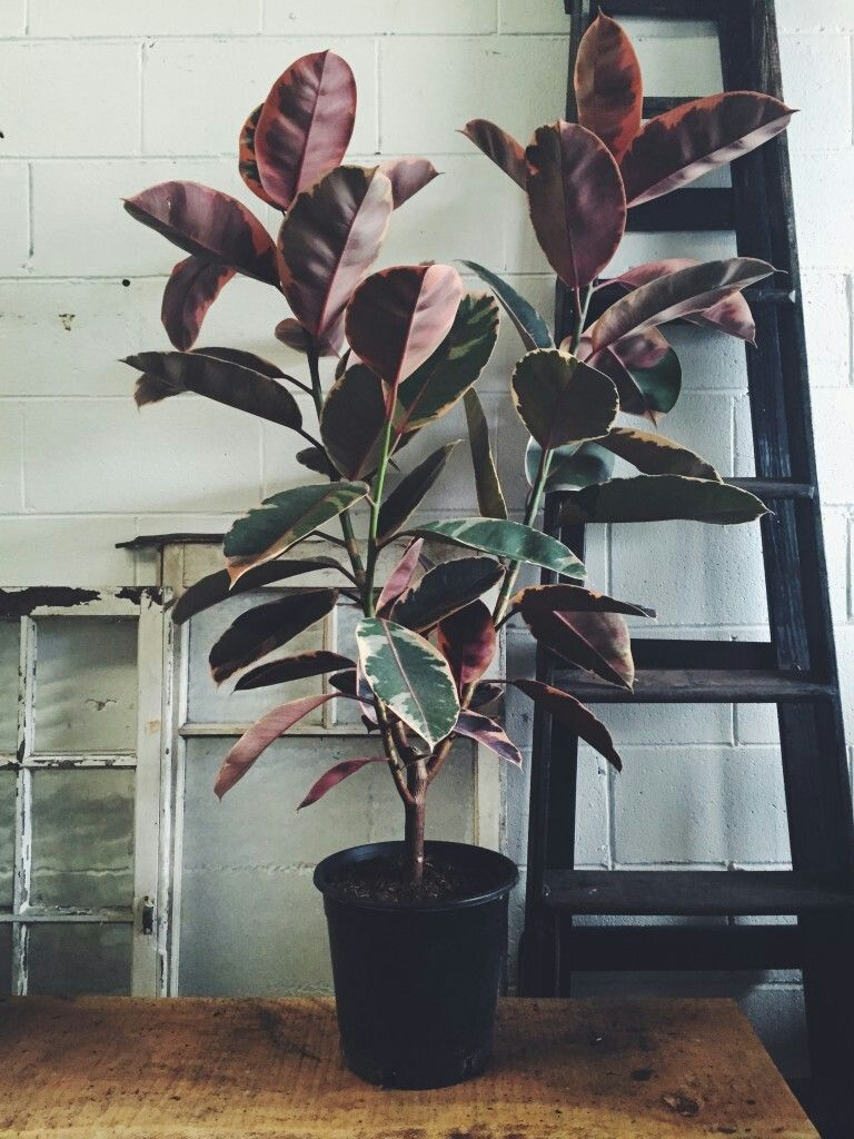 Image Result For Ruby Rubber Plant Plants Indoor Plants