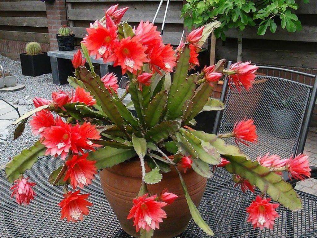 Disocactus Ackermannii Red Epiphyllum