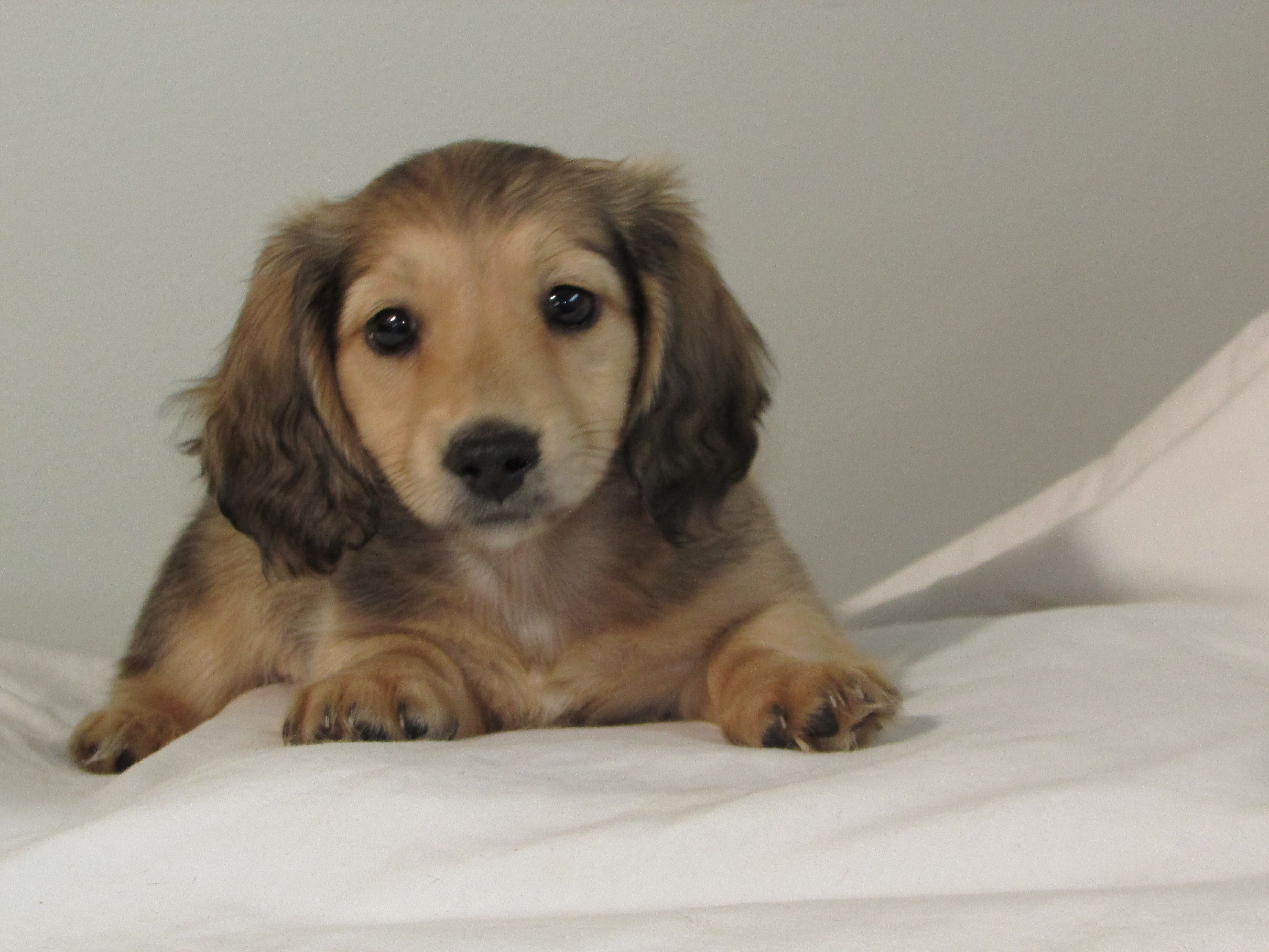 Shaded Cream Dachshund Breeders English Cream Dachshund Cream Dachshund