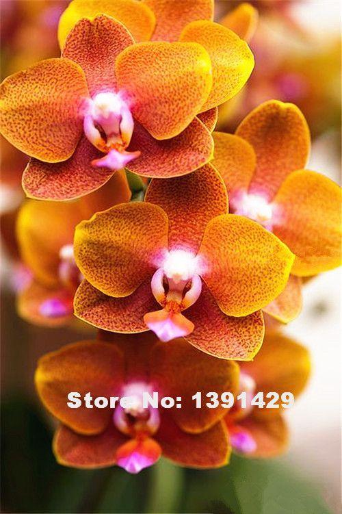 Hot Sale 100pcs 22 Colors Rare Cymbidium Orchid African Cymbidiums Seeds Unusual Flowers Beautiful Orchids Flower Seeds