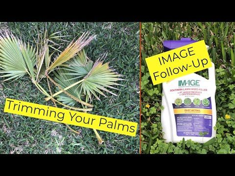 Image Follow Up How To Trim Your Palms Youtube Lawn Work Mexican Fan Palm Image
