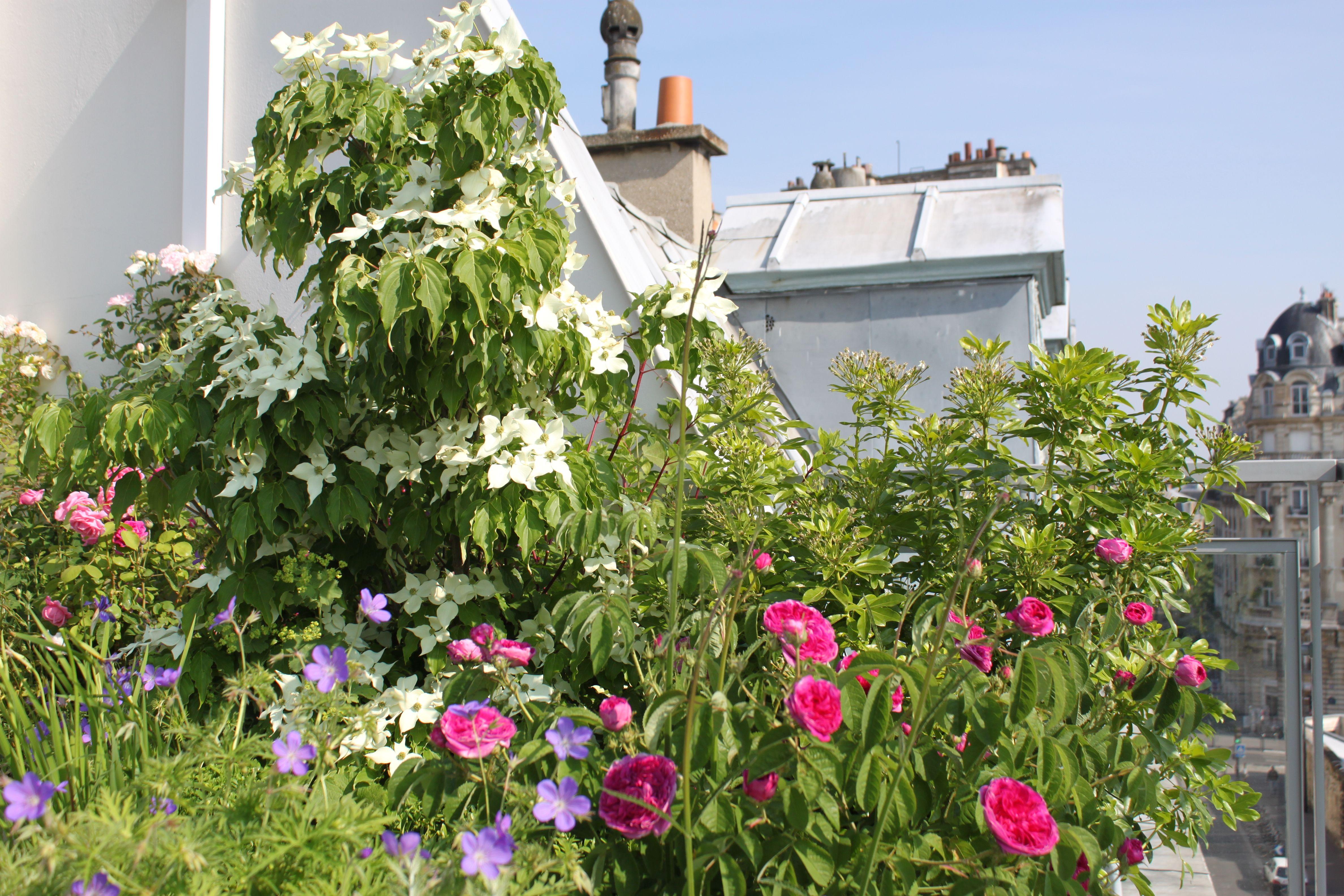 Roof Garden Terrasse Cornus Kousa Geranium orion Roses Xavier