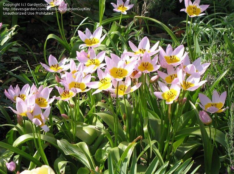 Species Tulip Lilac Wonder Tulipa Bakeri Plants And