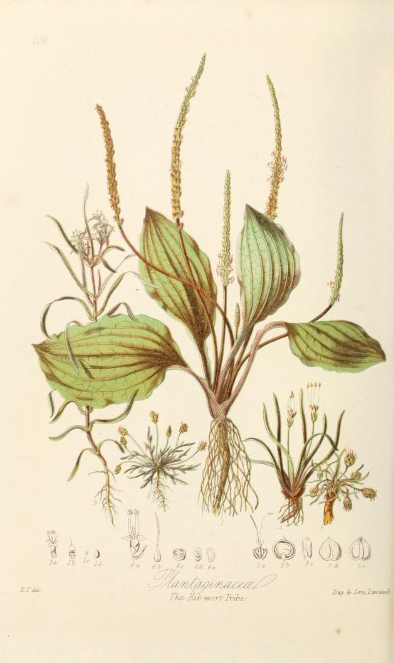 Plantaginaceæ