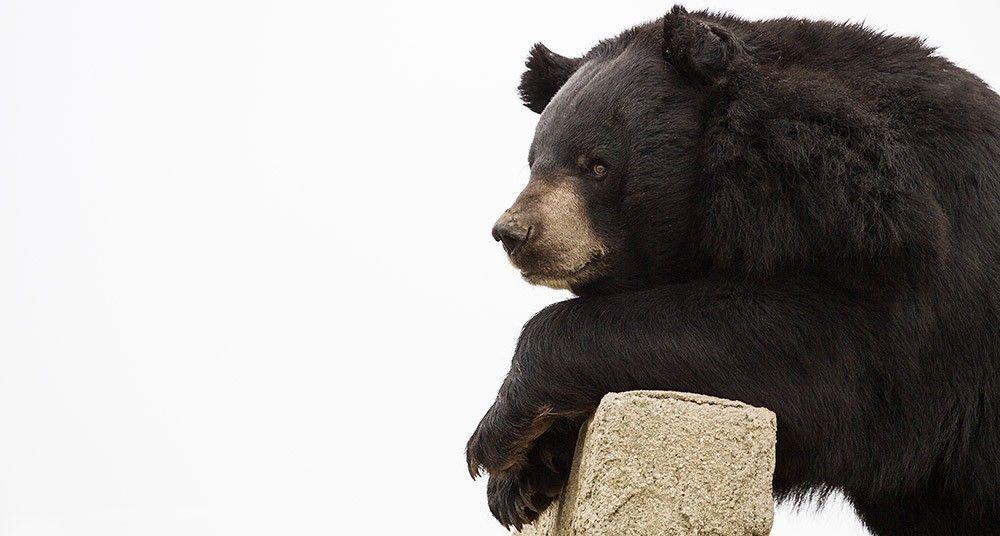 oso modelo
