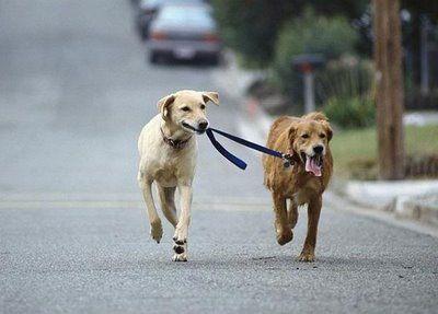 Dog Walker Dog Walking Dogs Funny Dogs