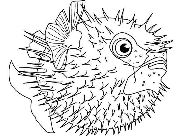 Puffer Fish Sea Squab Coloring Page