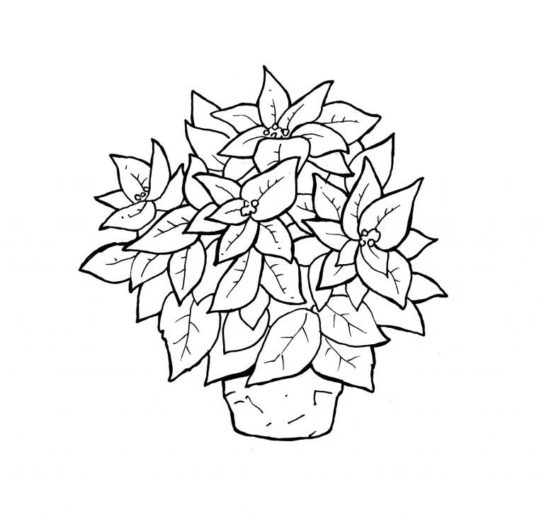 Free Printable Poinsettia Coloring Pages Blooming Poinsettia