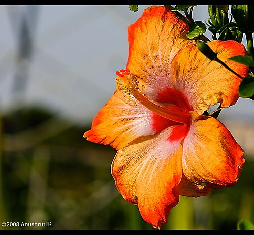 Colourful Hibiscus Flower Hibiscus Hibiscus Flowers Blooming Plants