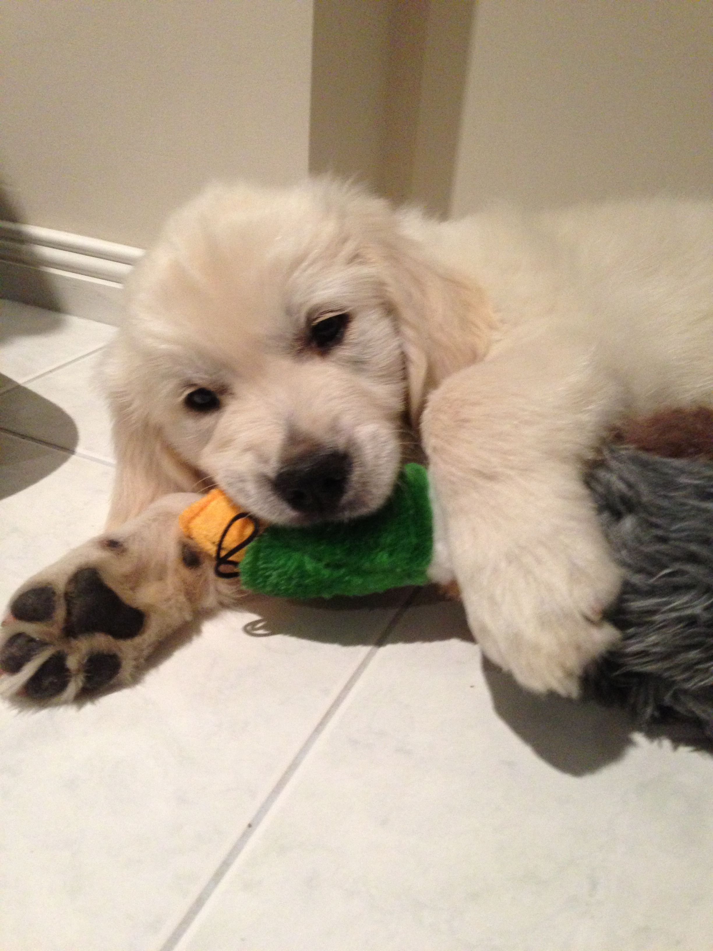 Golden Retriever Puppy And Toy Puppytoysduck Dog Toys Dogs