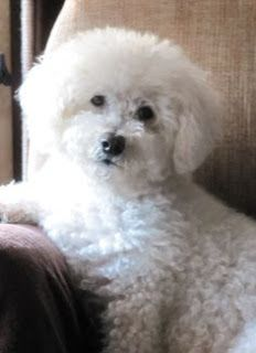 Whats Inside Your Beauty Bag Dog Breeds Bichon Frise Dogs Dogs