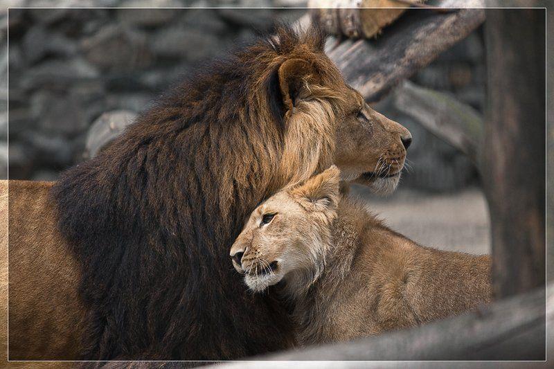 Пин от пользователя Natalia Kazimirova на доске Lions | Лев