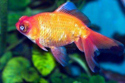 Goldfish-google