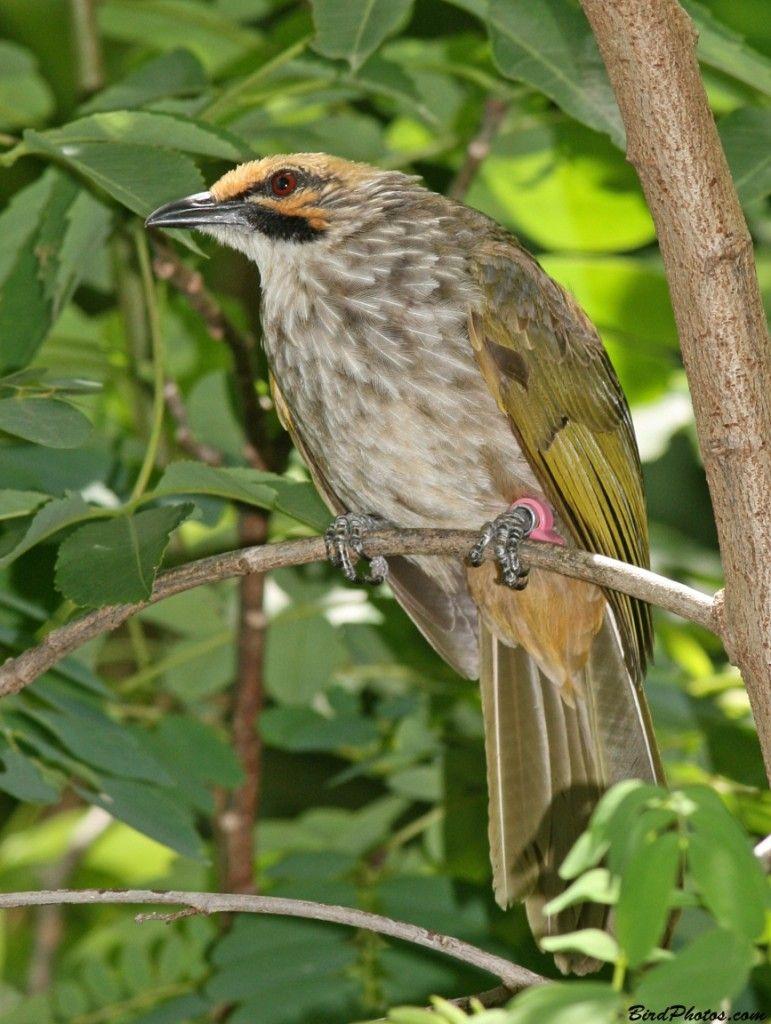 Cara Beternak Burung Cucak Rawa Bulbul Animals Birds