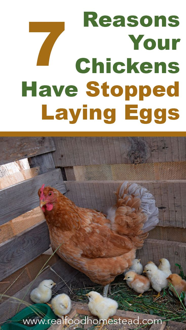 Why Are My Hens On Strike? 7 Reasons Your Chickens Have ...