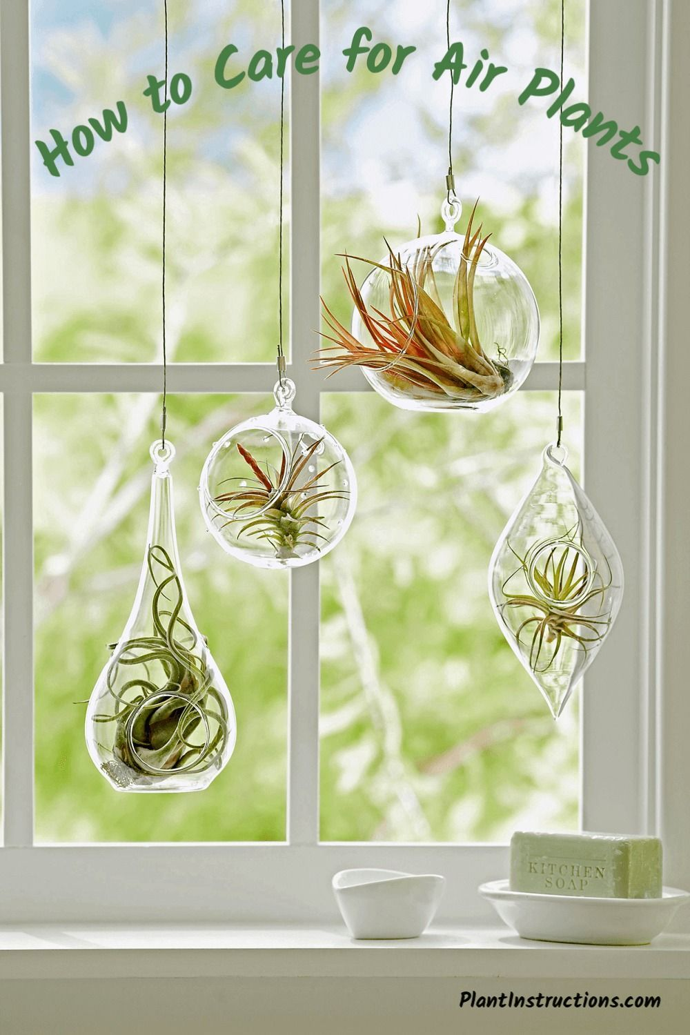 How to Care for Air Plants Air plants care, Hanging air