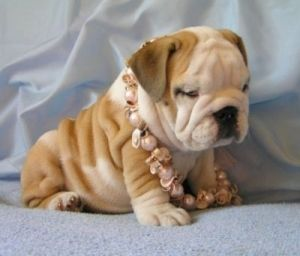 Bulldog Wrinkles Pearls Cute Puppies Cute Puppy Photos Dogs