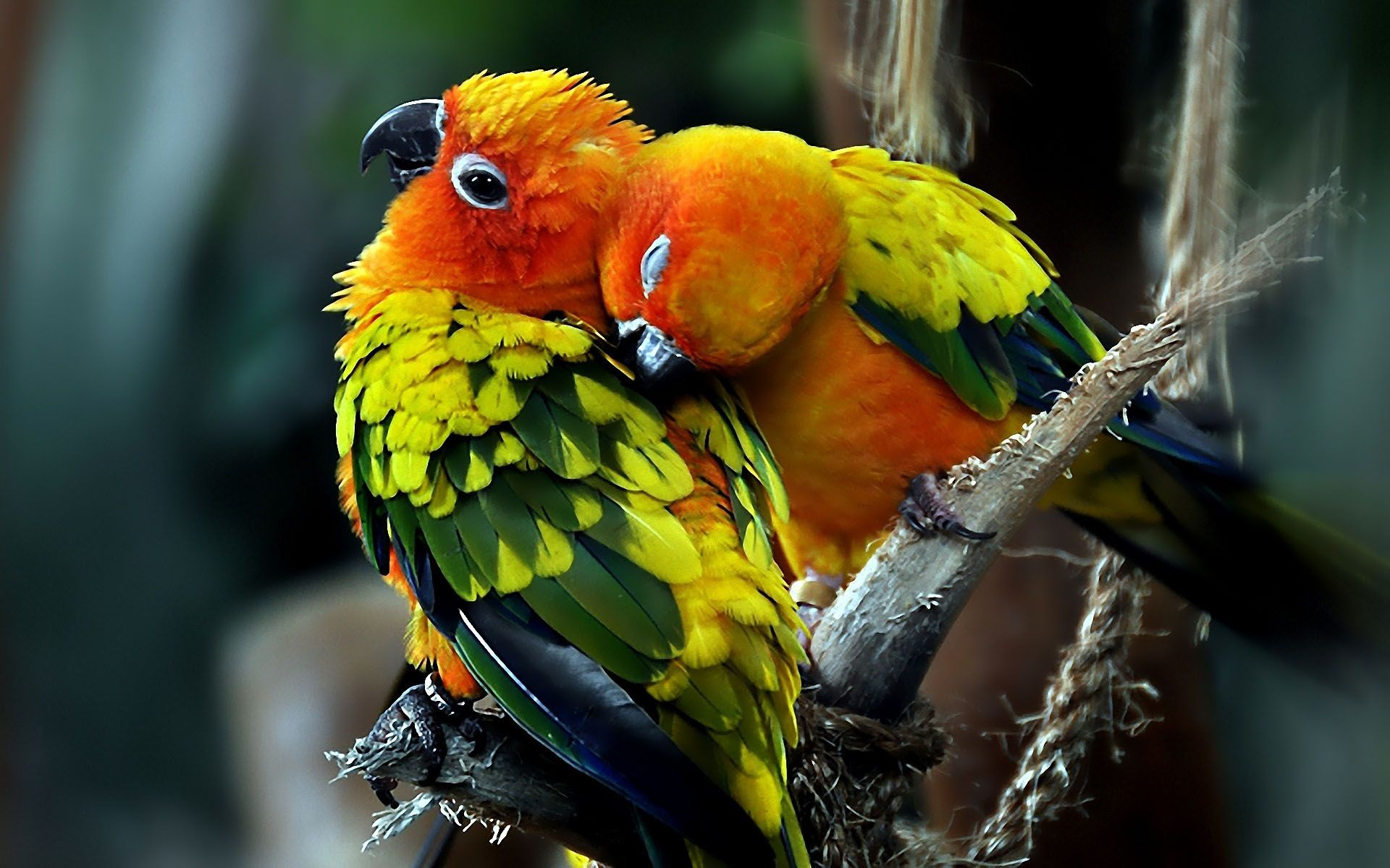 Cute Saying Hd Wallpapers Sun Conure Parrots 1920x1200 Parrot Wallpapers